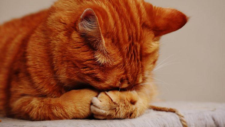 Asma em gatos: diagnóstico e cuidados preventivos