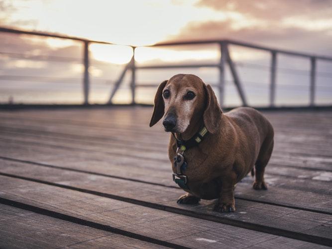 Leve seu cãozinho para passear com frequência e tenha paciência ao guiá-lo