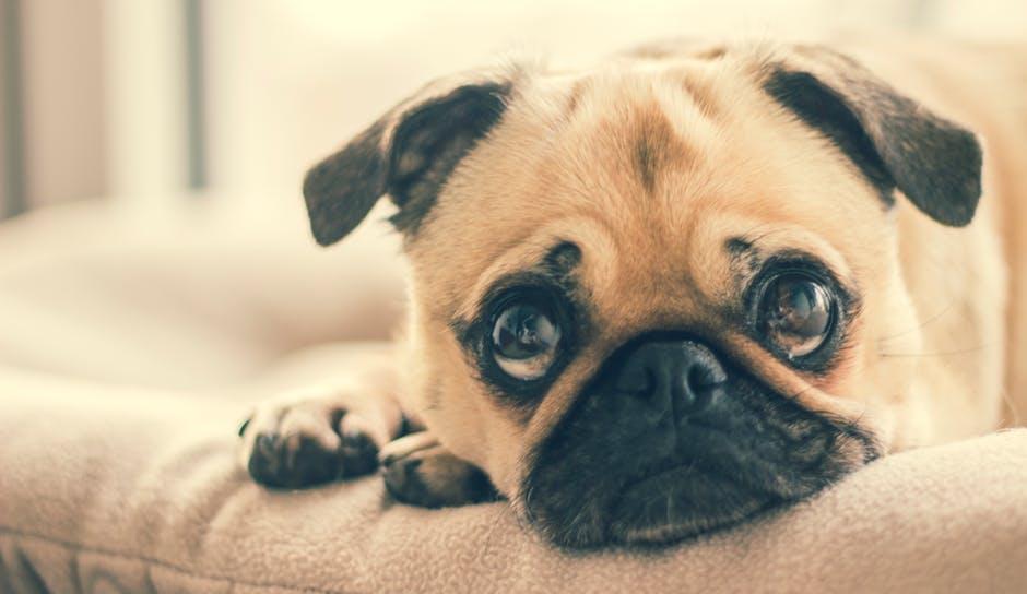 Não repreenda seu cãozinho por latir e procure ficar ao lado dele até que se acalme