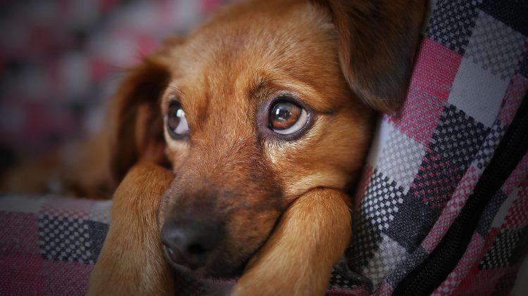 Quais cuidados são necessários para cuidar de uma cachorra no cio?